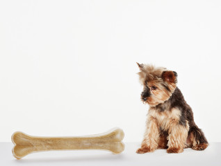 Dog examining oversized bone