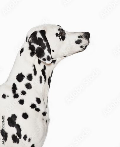 Silhouette of Dalmatian's face