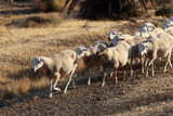 Flock of sheep in southern Spain