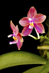 Wild Phalaenopsis bellina Red