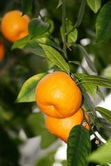 Clementinen am Baum