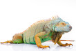 portrait of iguana on isolated white