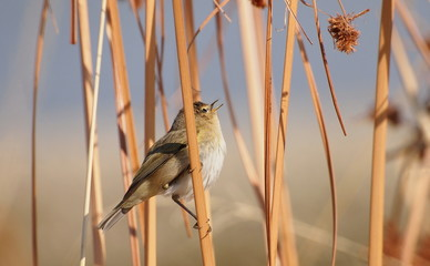 Chiffchaff on leaf cane, phylloscopus collybita