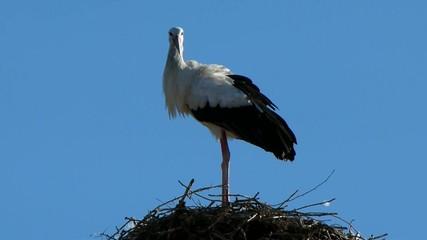 Cicogna nel nido 4