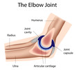 The elbow joint, eps8