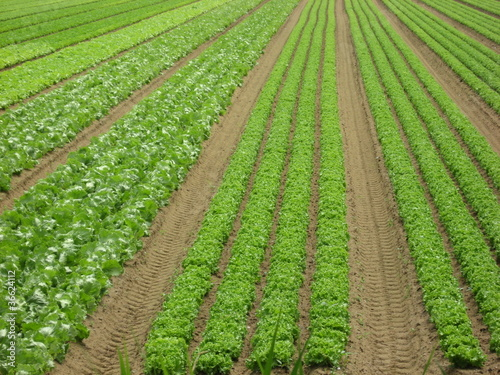 extensive cultivation of green salad on a field of sand