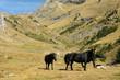 herd of wild black horses