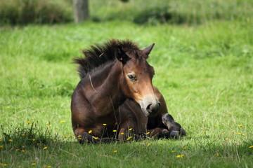 Pony, liegend
