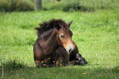 Pony, liegend Poster