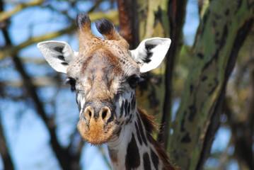 Giraffen-Portrait