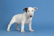 Hunde-Bullterrier-12757