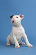 Hunde-Bullterrier-12820
