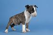 Hunde-Bullterrier-12744