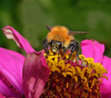 bee pollinate flower in the garden poster