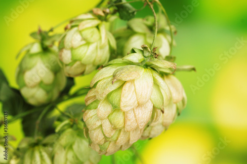 beautiful green hop on green background