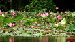 pond with pink lilies