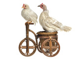 Chickens on tricycle - pet travel or birds migration concepts poster