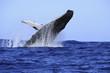 baleine à bosses - 36659945