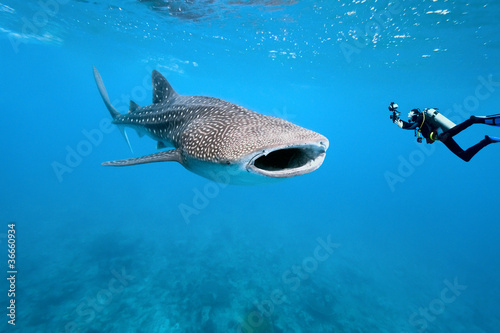 Poster Whale shark and underwater photographer