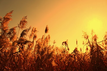 Sedge in the orange sky and sun