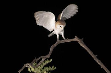 Barbagianni,Tyto alba,Barn Owl