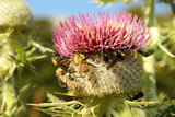 Bumblebees pollinating Milk Thistle poster