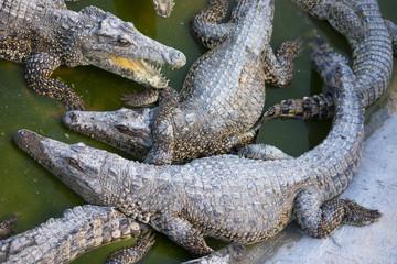 Coccodrillo cubano