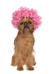 Cute griffon dog with pink curly wig