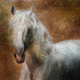 Fototapety Andalusian horse portrait. Simulation in old painting style
