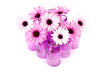 pink daisy in glass vases over white background