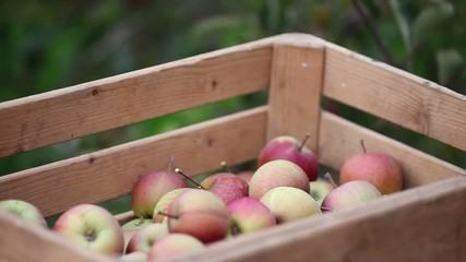 Äpfel plücken (in Holzkiste)