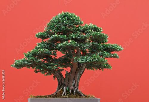 Tuinposter Bonsai Tasso - Yew bonsai
