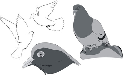 white doves sketches