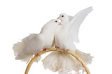 Two white doves kissing and huggung