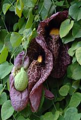 Aristolochia gigantea creeper flower plant  from brasil