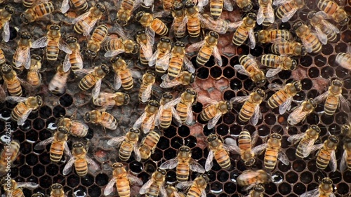 Api in alveare - Bees with honey in beehive