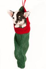 Cute chihuahua puppy.