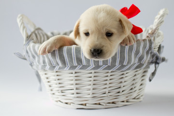 Portrait of cute  labrador puppy in basket