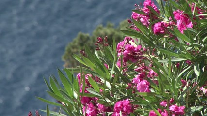 Flowers on a Cliff, Santorini