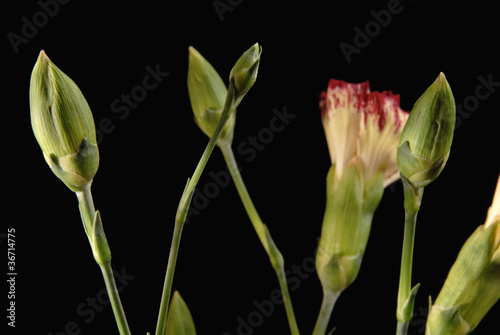 Branch of Carnations bud flowers