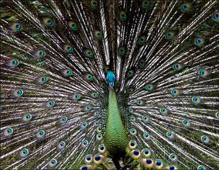 The-Peacock