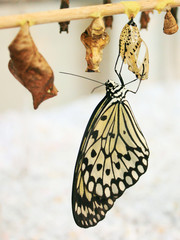 Rice-Paper-Butterfly