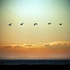 Caerlaverock Geese 1
