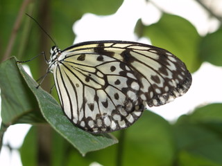 Tree-Nymph-Butterfly 3