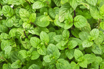 Close up of a green mint plant