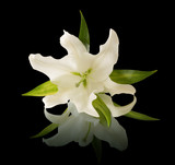 White lilies on a black background