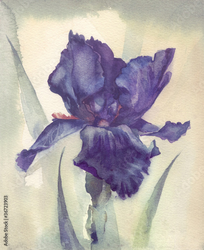 Akwarela Flower Kolekcja: Iris
