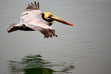 the-moving-pelican