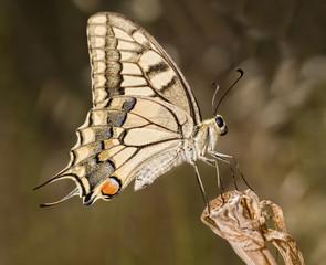 Mariposa Papilio Machaón posada en flor seca.