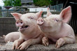 Laughing pigs